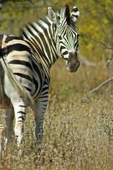 zebra equus zebra