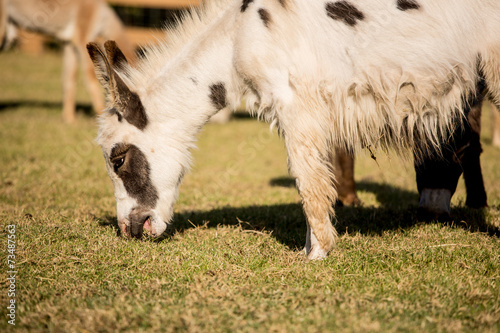 Poster Ezel Donkey grazing in a field
