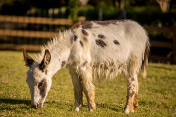 Donkey grazing in a field