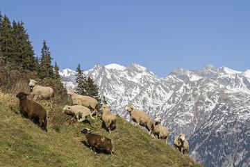 Schafherde in den Schweizer Bergen