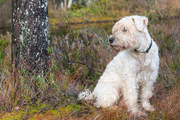 a irish weathen soft coated terrier in the rough