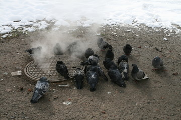 Urban pigeons warm in the winter next to the manhole