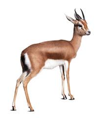 Dorcas gazelle.  Isolated over white background