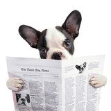 French bulldog reading newspaper over white - 73494758