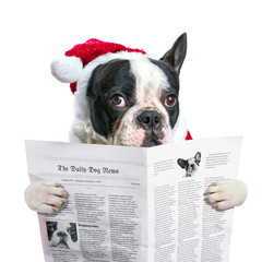 French bulldog in santa hat reading newspaper over white