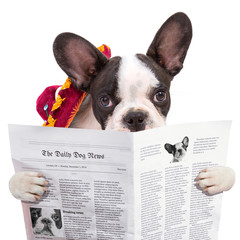 French bulldog in sombrero reading newspaper over white
