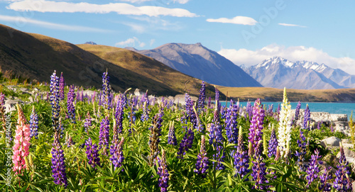 Poster Oceanië Lupines of New Zealand