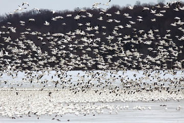 Snow Geese on Ice