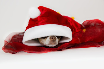 Dog during Christmas on white background.