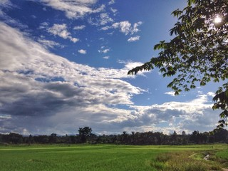 jasmine rice field in the end of rainy season
