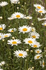 common daisies growing on meadow