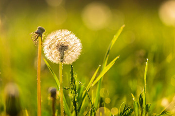 white dandelion on green grass blur background