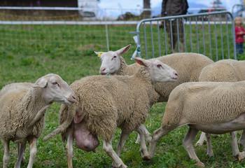 moutons au travail dans une fête de village au Revard en savoie