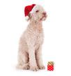 canvas print picture - Unzufriedener Hund mit zu kleinem Geschenk