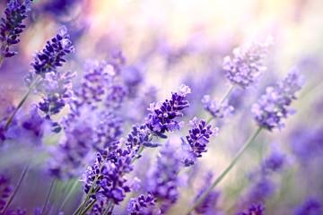 Soft focus on lavender flower