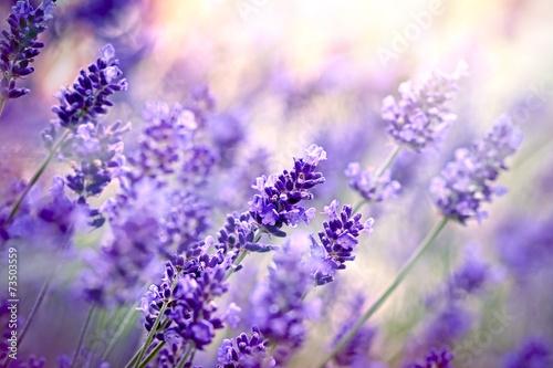 Lavender Soft focus on lavender flower