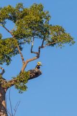 Couple of lover  Great hornbill (Buceros bicornis)
