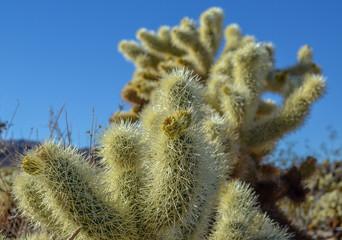 Cholla cactus flower, Joshua tree national park