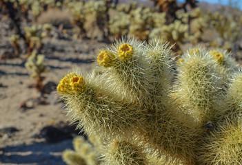 Beautiful Cholla cactus, Joshua tree national park