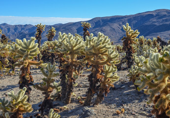 Beautiful cholla cactus garden in Joshua tree national park, CA