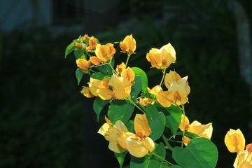 Yellow flowering trees
