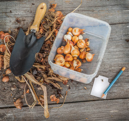 Dug out tulips bulbs after flowering and tag