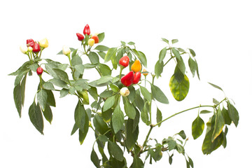 .Red pepper ornamental plants, isolated on white