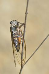 Closeup of Cicada orni on stem