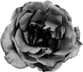 rose silhouette from black dots isolated on white