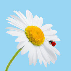 Chamomile and ladybird isolated on blue. Daisy and ladybird. Sum