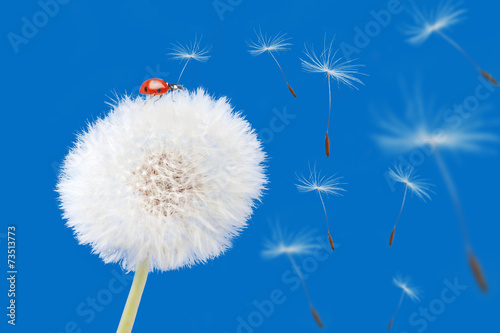 Dandelion blowing and ladybird isolated on blue. Flower and lady