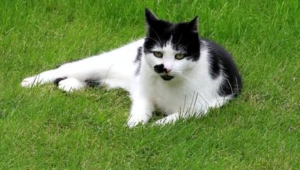 Katze schwarzweiß liegt auf Wiese, faucht und putzt sich