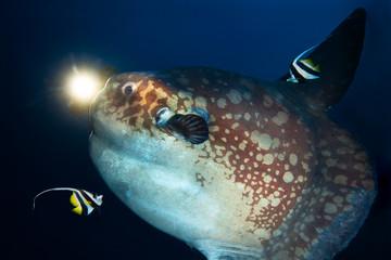 Ocean sunfish (Mola mola) and diver