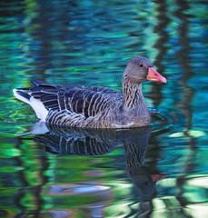 goose on autumn pond