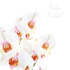 Beautiful vector white phalaenopsis orchids isolated on white