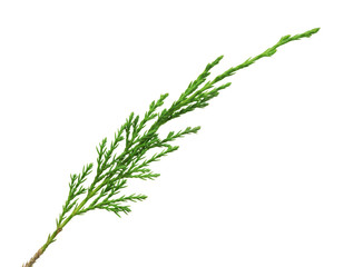 green thuya branch on white