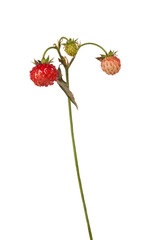 three stage of strawberry on stem