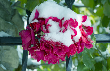 First snow covered the flowers