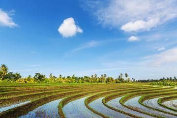 Rice Fields. Bali