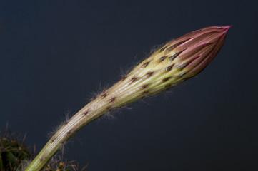 Echinopsis cactus flower bud on a dark background.