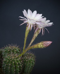 Echinopsis cactus flowers on a dark background.