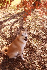 笑顔で見つめる犬と紅葉したモミジ