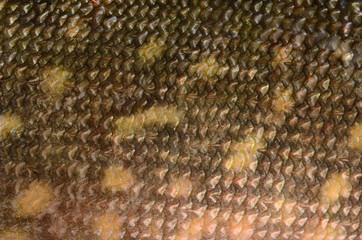 Texture fish pike