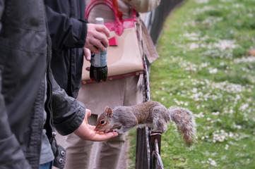 scoiattolo a londra