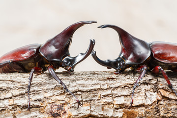Fighting beetle