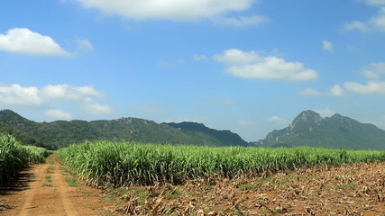 Road on sugar cane field ready for harvest.