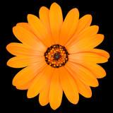 Orange Pot Marigold Flower in Full Bloom Isolated