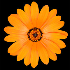 Orange Pot Marigold Flower in Full Bloom Isolated