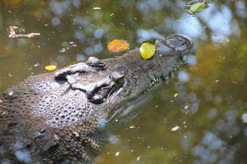 Indopacific Crocodile