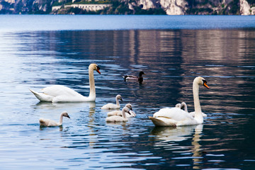 swan family. Beautiful young swans in lake